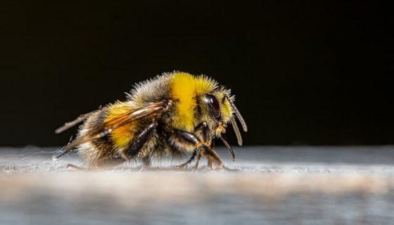 abeille apidays